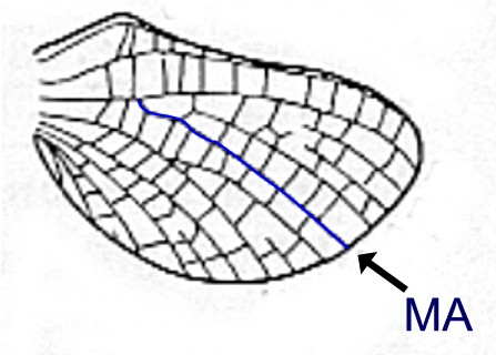 Hind wing of Arthroplea sp. (from Burks 1953)